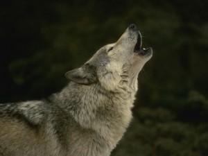 Ulve i Danmark