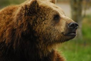 Brun bjørn (ursus arctos)